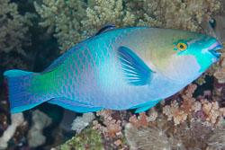 BD-150228-Ras-Mohammed-7353-Scarus-ferrugineus.-Forsskål.-1775-[Rusty-parrotfish].jpg